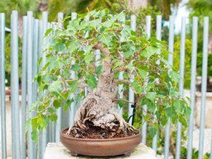 chau cay bo de bonsai