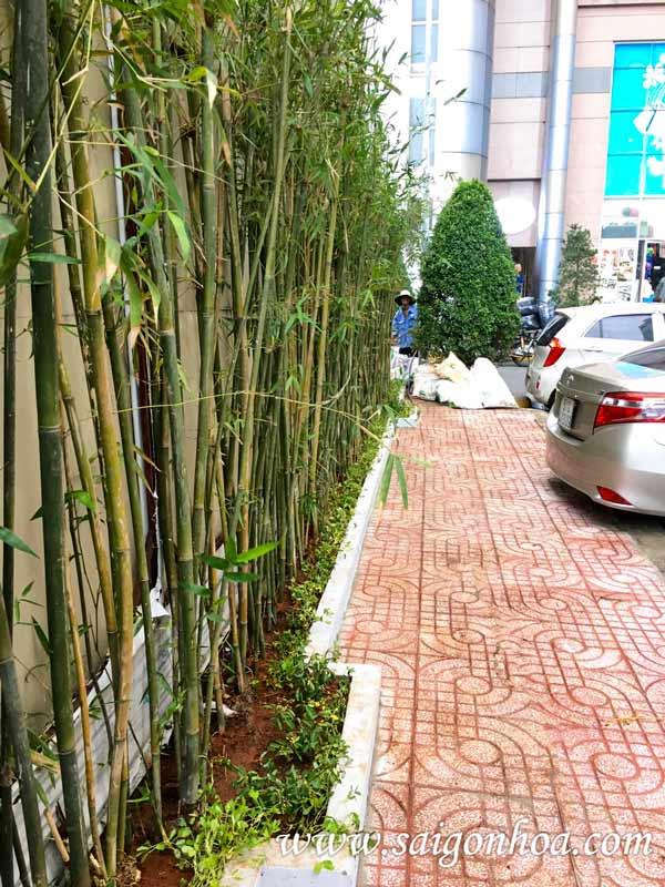 Hướng dẫn trồng cây trúc cần câu bao sống