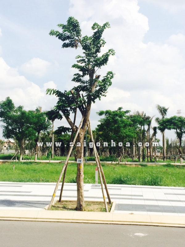 cay-giang-huong-2-1