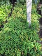 cây hoa kim đồng