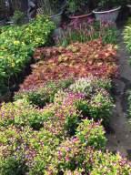 cây hoa tố liên và lá gấm