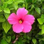 цветок кореи