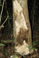 Aguilara tree with bark scraped off by poachers. This allows mould to penetrate the tree, producing the valuable resin