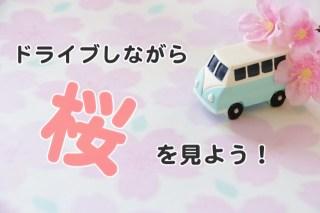 ドライブしながら桜を見よう!