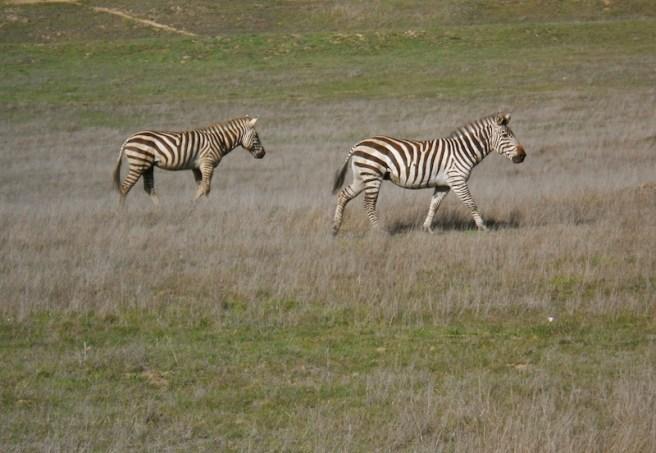 Wild zebras in California!