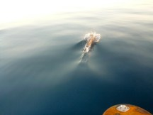 Dolphins on the bow...