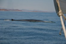 Blue Whale surfaces right in front of us