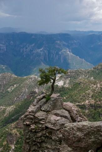 Mexican bonsai