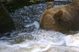 Bear snorkeling
