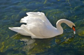 Swans a'swimmin'
