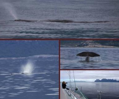 Velvet_sperm_whales