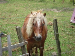 Josie, one of the two miniature horses that is causing us to buy more carrots.