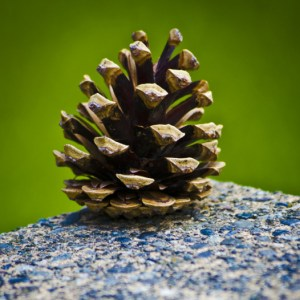 close up of a pine cone