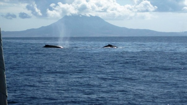 whales_st_kitts_edit