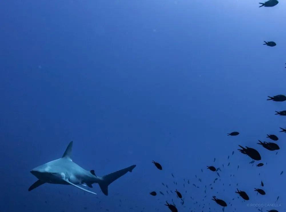 Carcharhinus plumbeus - Squalo grigio, Lampione