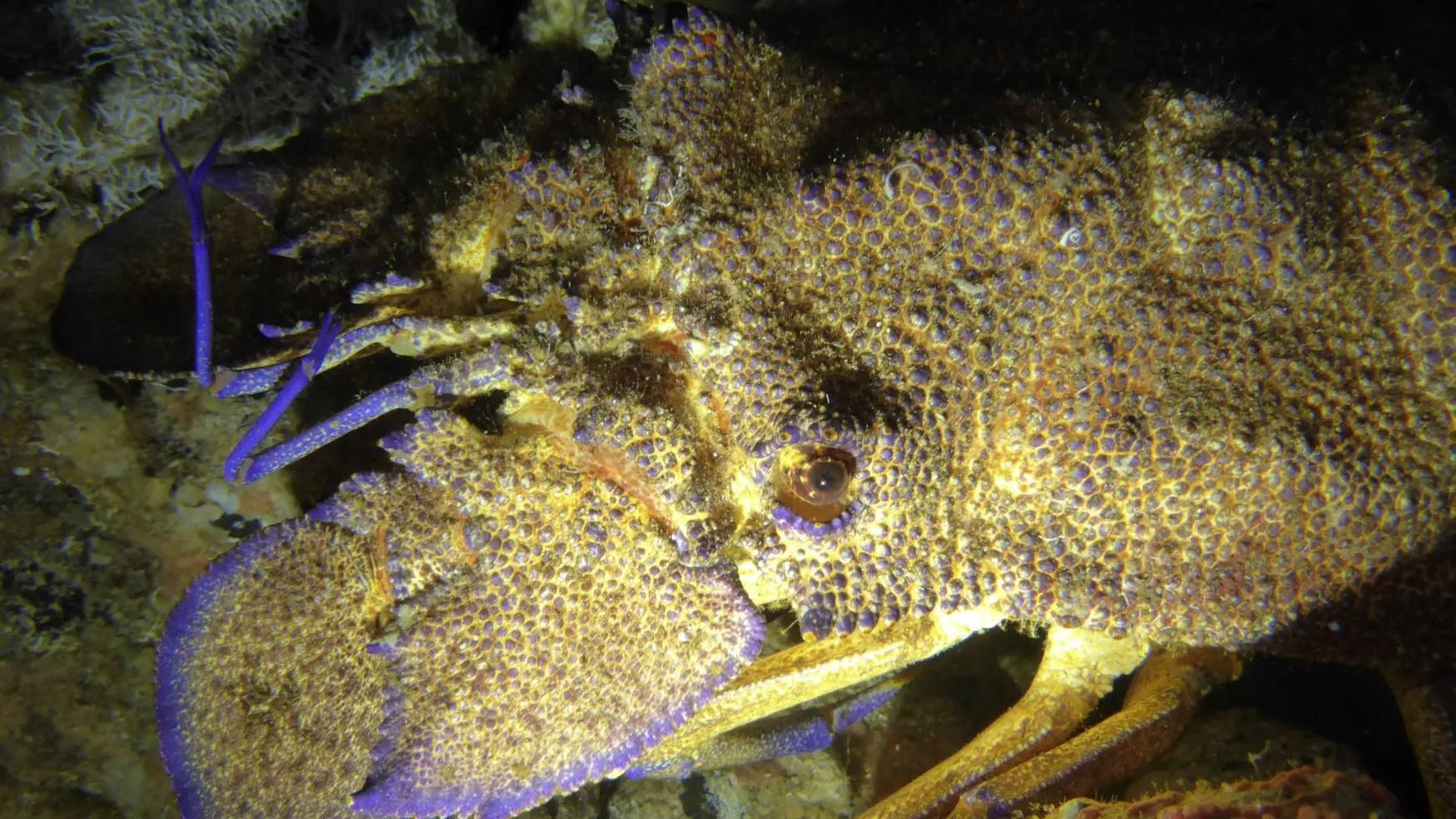 Cicala di mare - Scyllarides latus