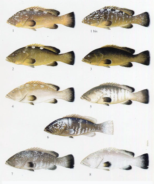 Livree della cernia bruna (Epinephelus marginatus), da Zabala et al. (1997)
