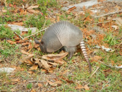 Fascinating creatures, those armadillos. Such a funny little snout and tail coupled with a body that looks like a suit of armor.