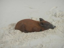Piglet snoozing in the sand!!
