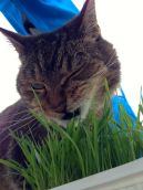 Leo eating his growing cat grass. A face only a mother could love!