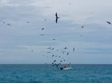 Frigate birds are very interested in that panga.