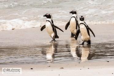 African Peguin - Afrikanpingviini
