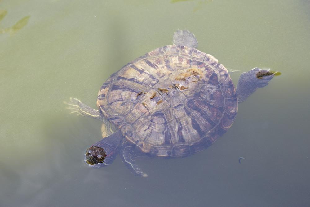 Prayurawongsawas Waraviharn Temple Turtle