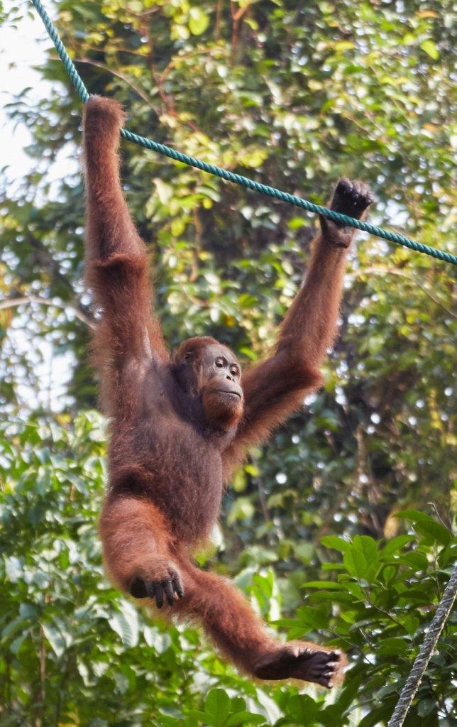 Semenggoh Nature Reserve Orangutan