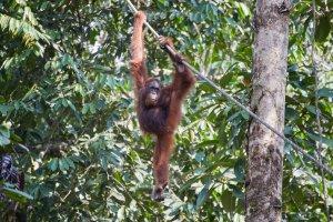 Semenggoh Nature Reserve Kuching