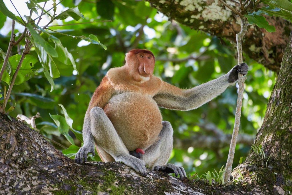 Bako Proboscis Monkeys