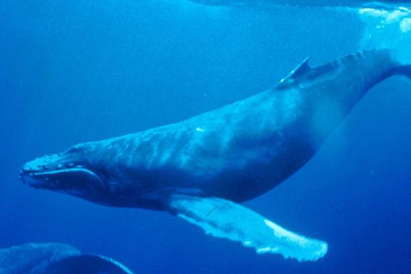 Humpback_Whale_underwater_shot6401
