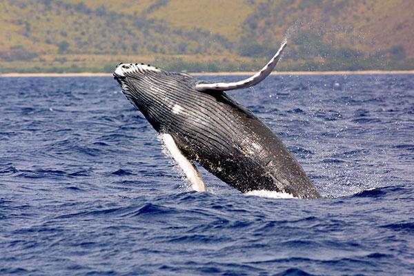 Humpback_whale_640-1