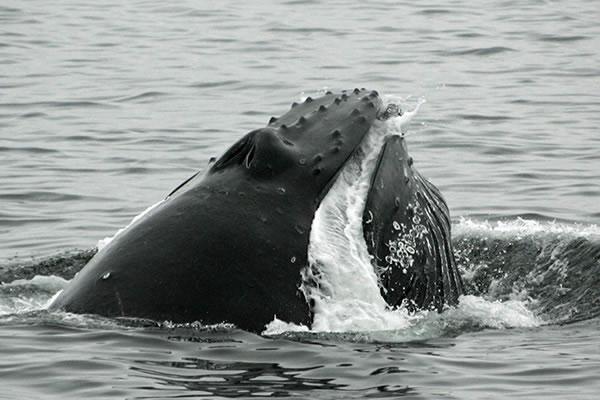 Humpback_whale_640_PS9
