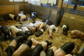 Piglets at the Kattendorfer Hof