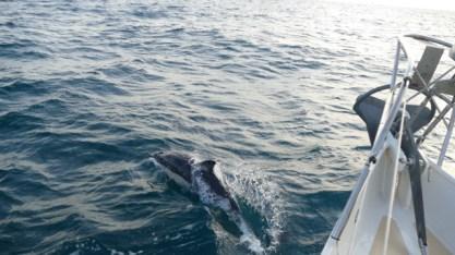 Dolphins in the Irish Sea