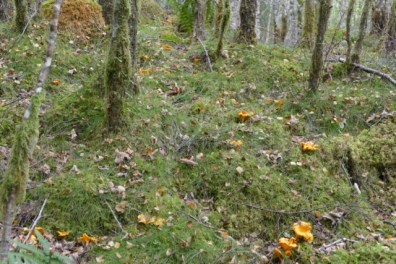 Golden chanterelles forest