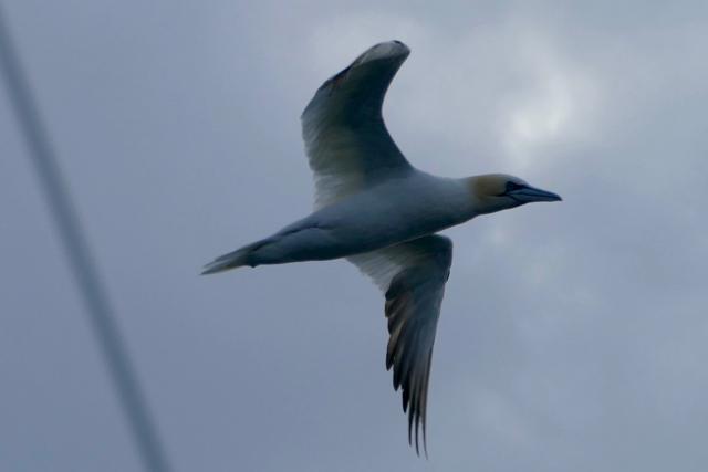 Shetland gannet