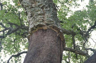 Regrowing cork bark
