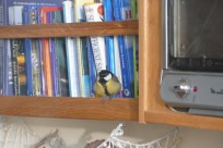 Great tit exploring our cabin
