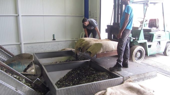 Fresh olive delivery at Kanakis