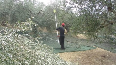 Harvesting olives is hard work