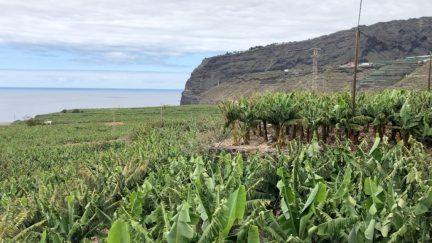 Banana monoculture covers La Palma