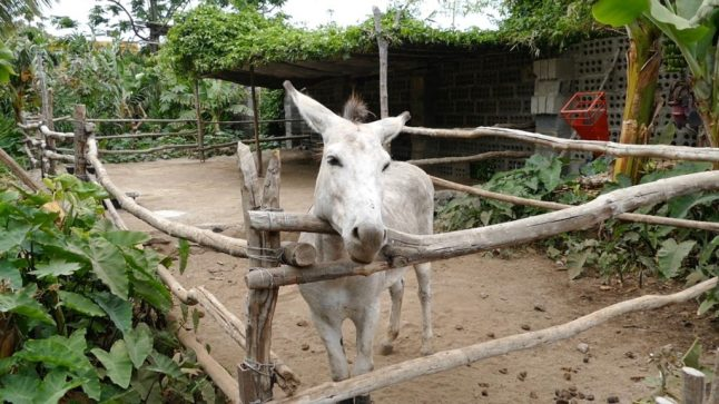 The donkey helps to fertilize the banana plantation