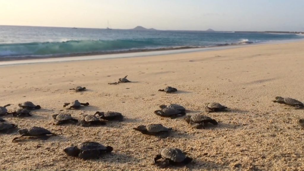 Sea turtle babies on their way to the sea (Foto Project Biodiversity)