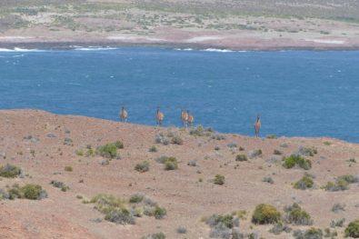 Patagonian llamas watching us
