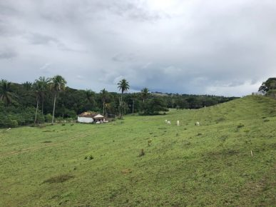 Atlantic Rain Forest replaced by cattle