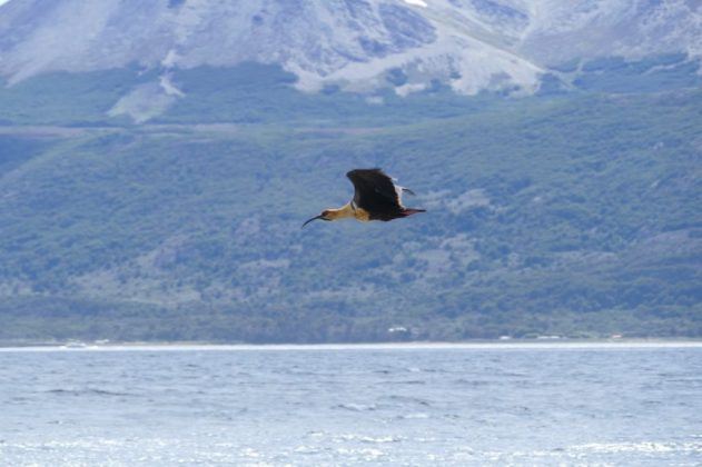 Ibis and the Beagle Channel