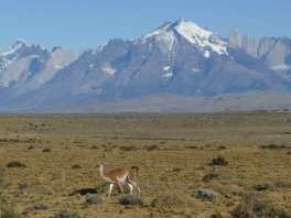 Guanaco in front of Torres del Paine