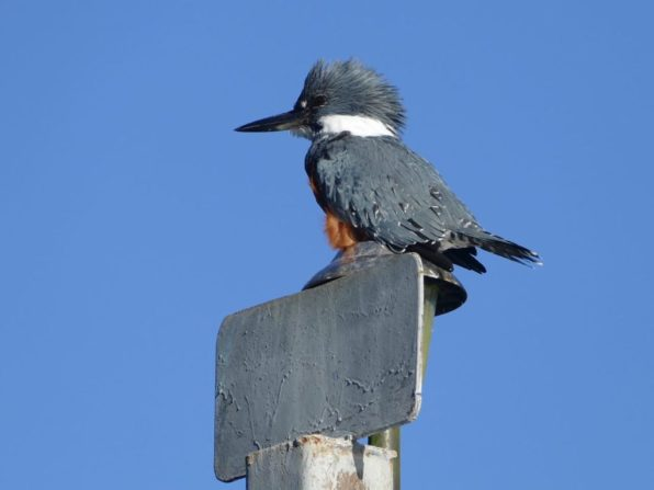 King Fisher in Patagonia