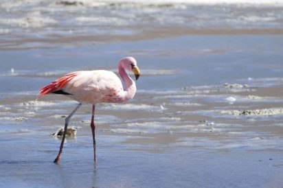 Salt lake flamingo